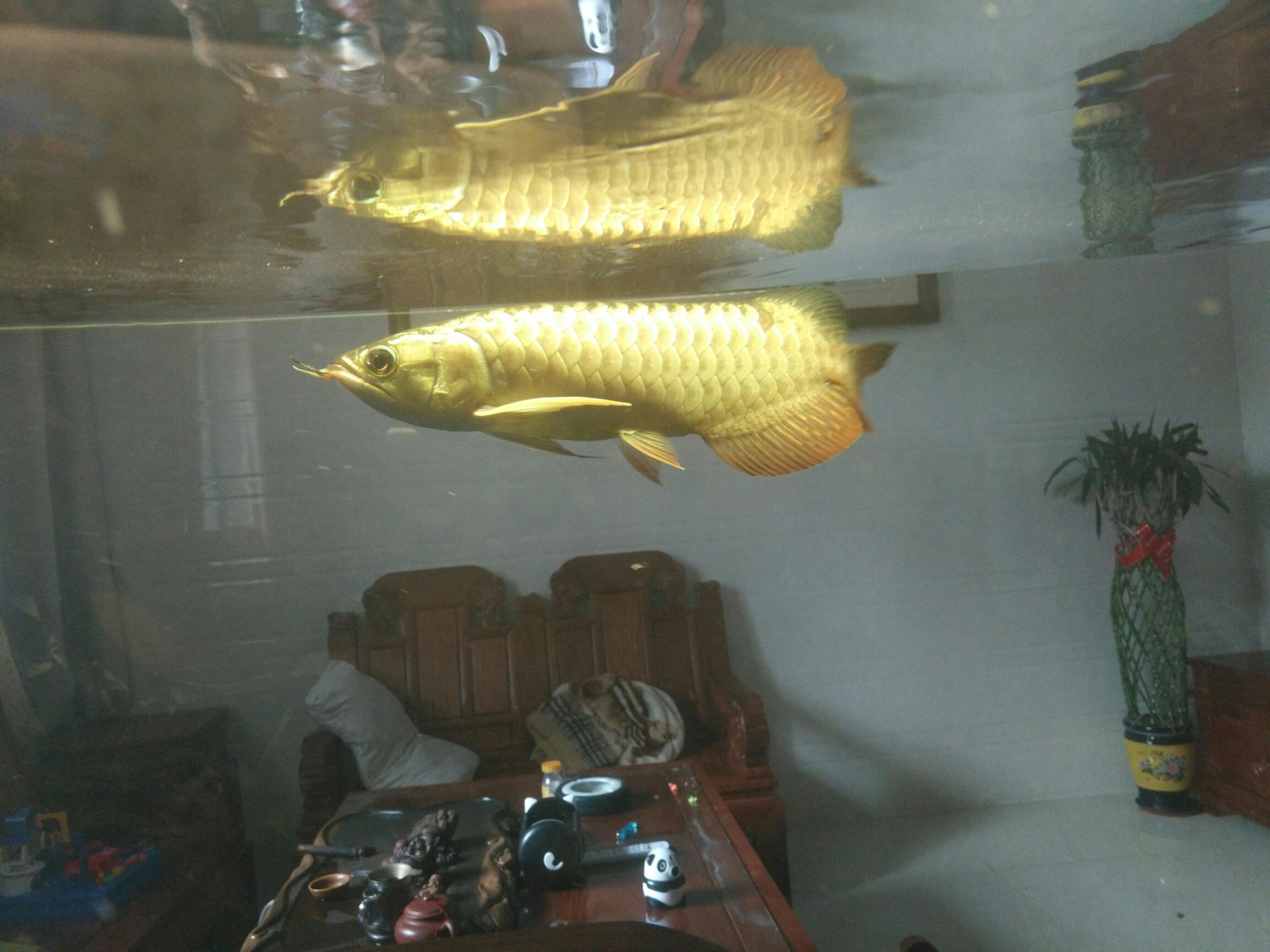 北京台湾蝴蝶鲤一个月了放出来晒晒 北京观赏鱼 北京龙鱼第5张