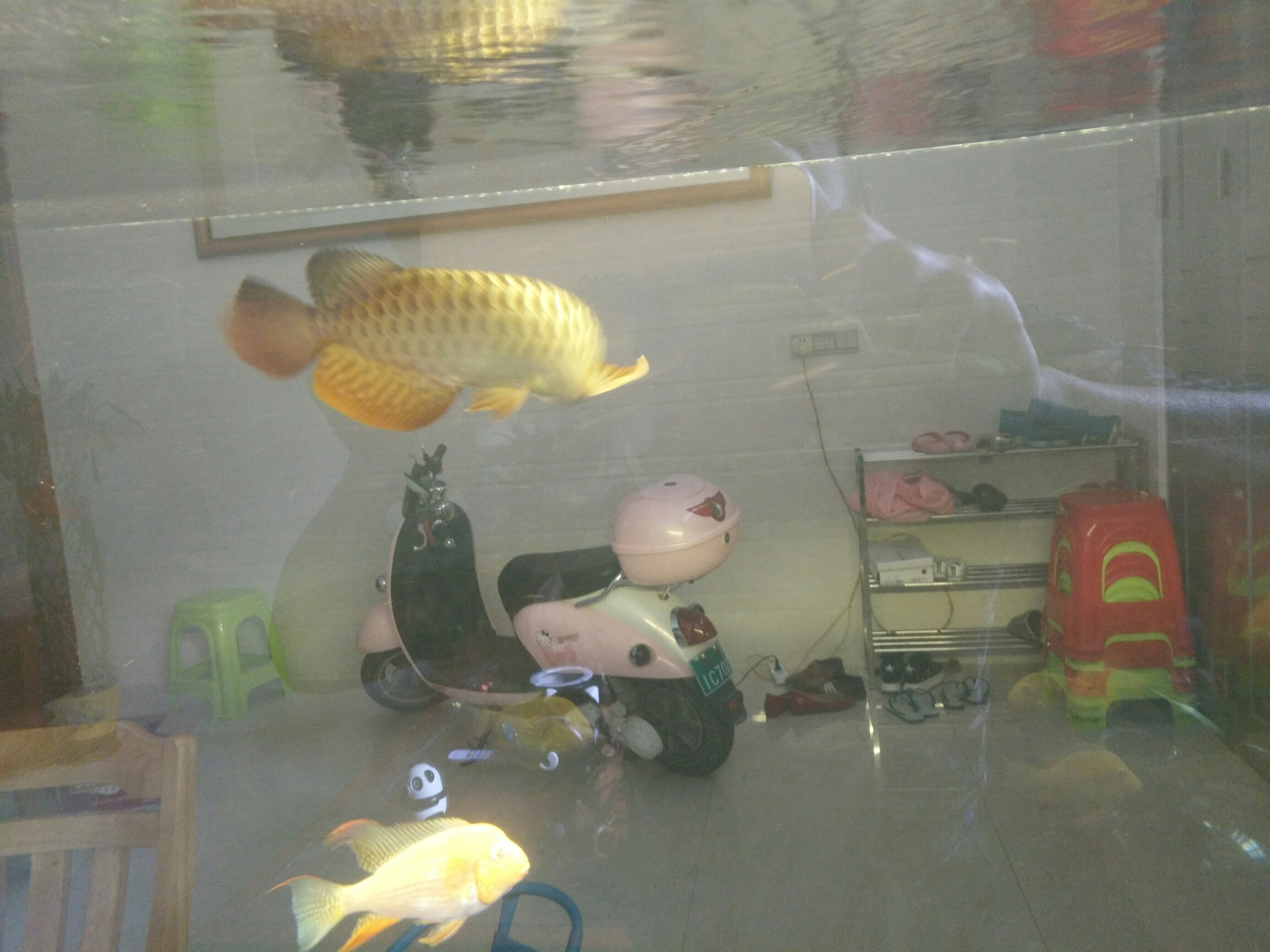 北京台湾蝴蝶鲤一个月了放出来晒晒 北京观赏鱼 北京龙鱼第6张