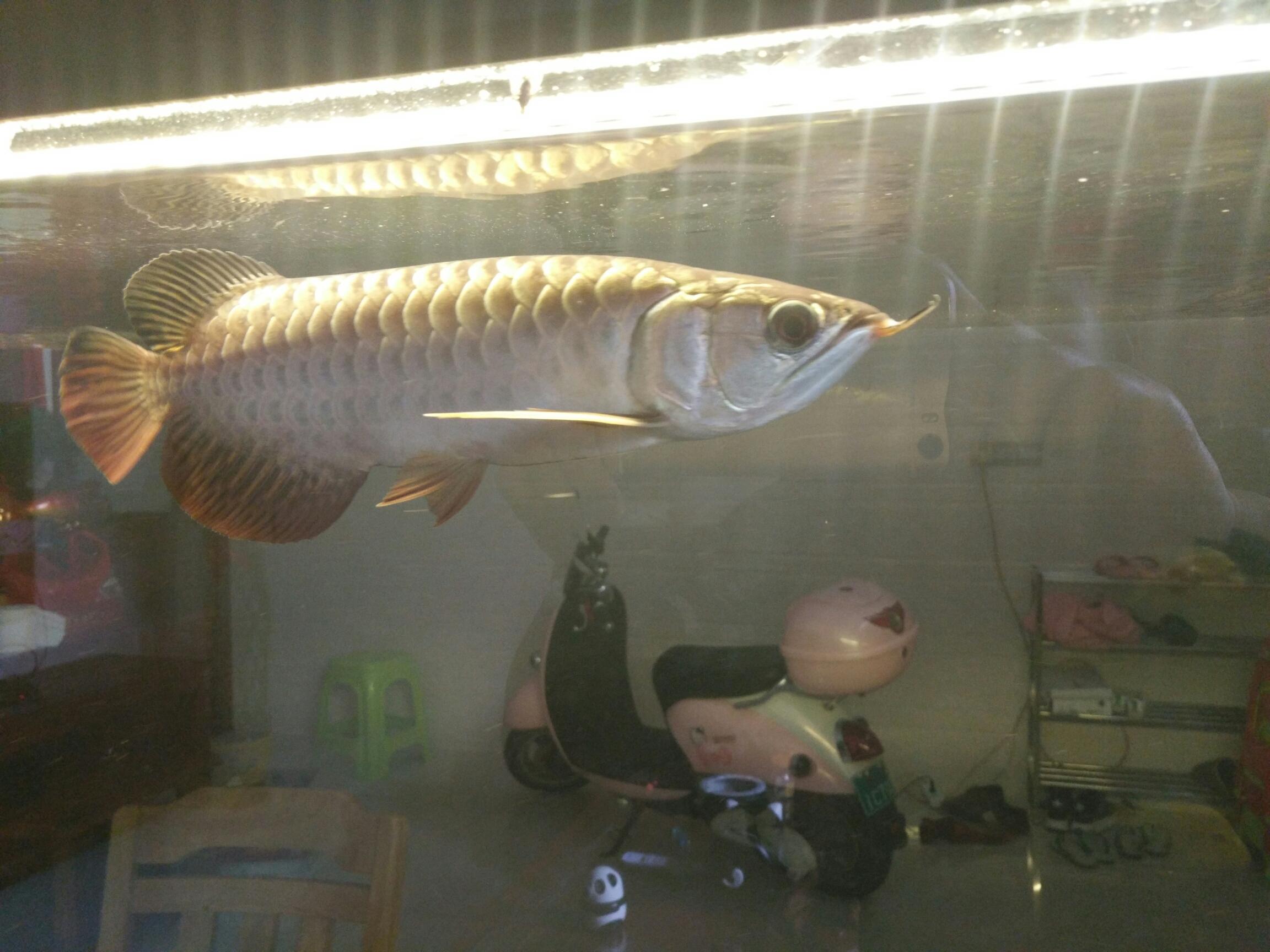 北京台湾蝴蝶鲤一个月了放出来晒晒 北京观赏鱼 北京龙鱼第9张