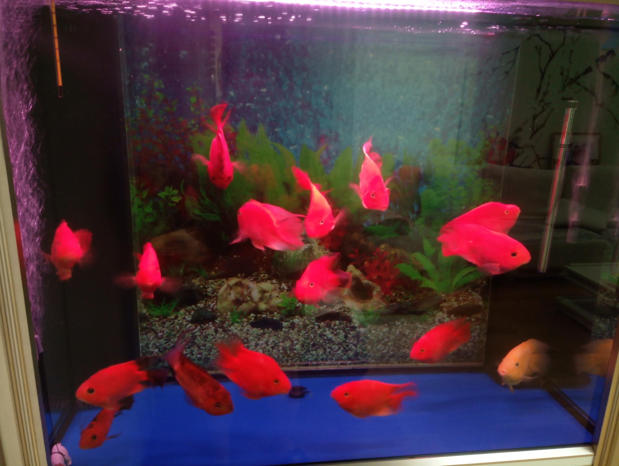 如何清理底滤鱼缸下面堆积的鱼粪 北京龙鱼论坛 北京龙鱼第1张