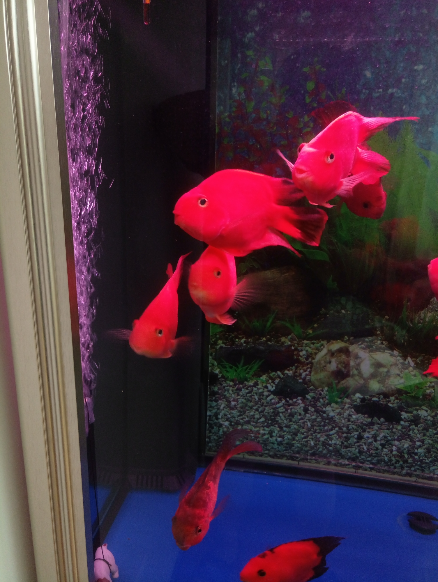 如何清理底滤鱼缸下面堆积的鱼粪 北京龙鱼论坛 北京龙鱼第2张