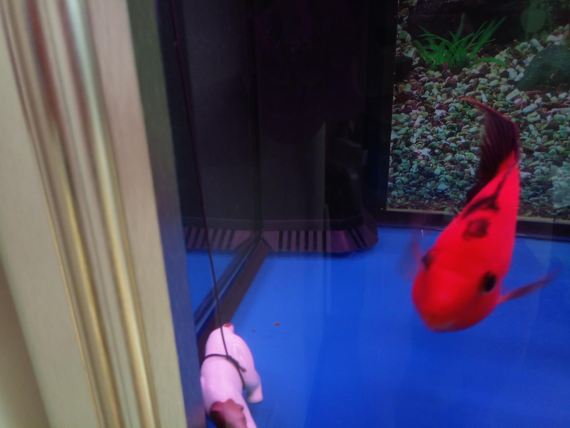 如何清理底滤鱼缸下面堆积的鱼粪 北京龙鱼论坛 北京龙鱼第3张