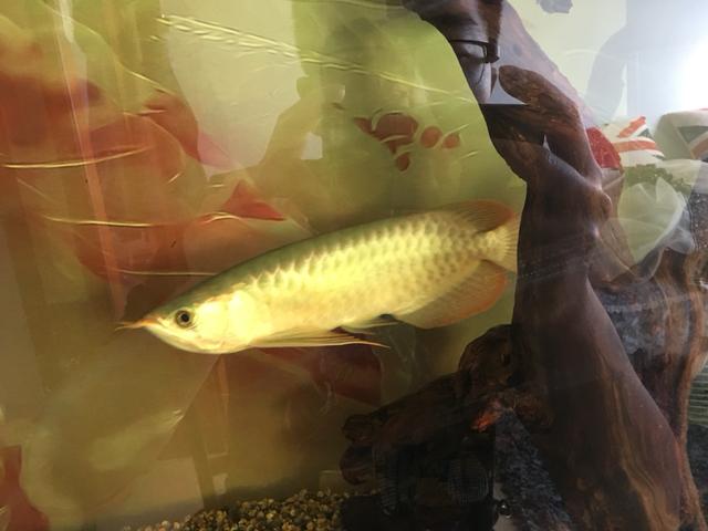 这回大神们给看看这鱼怎么养 北京观赏鱼 北京龙鱼第3张