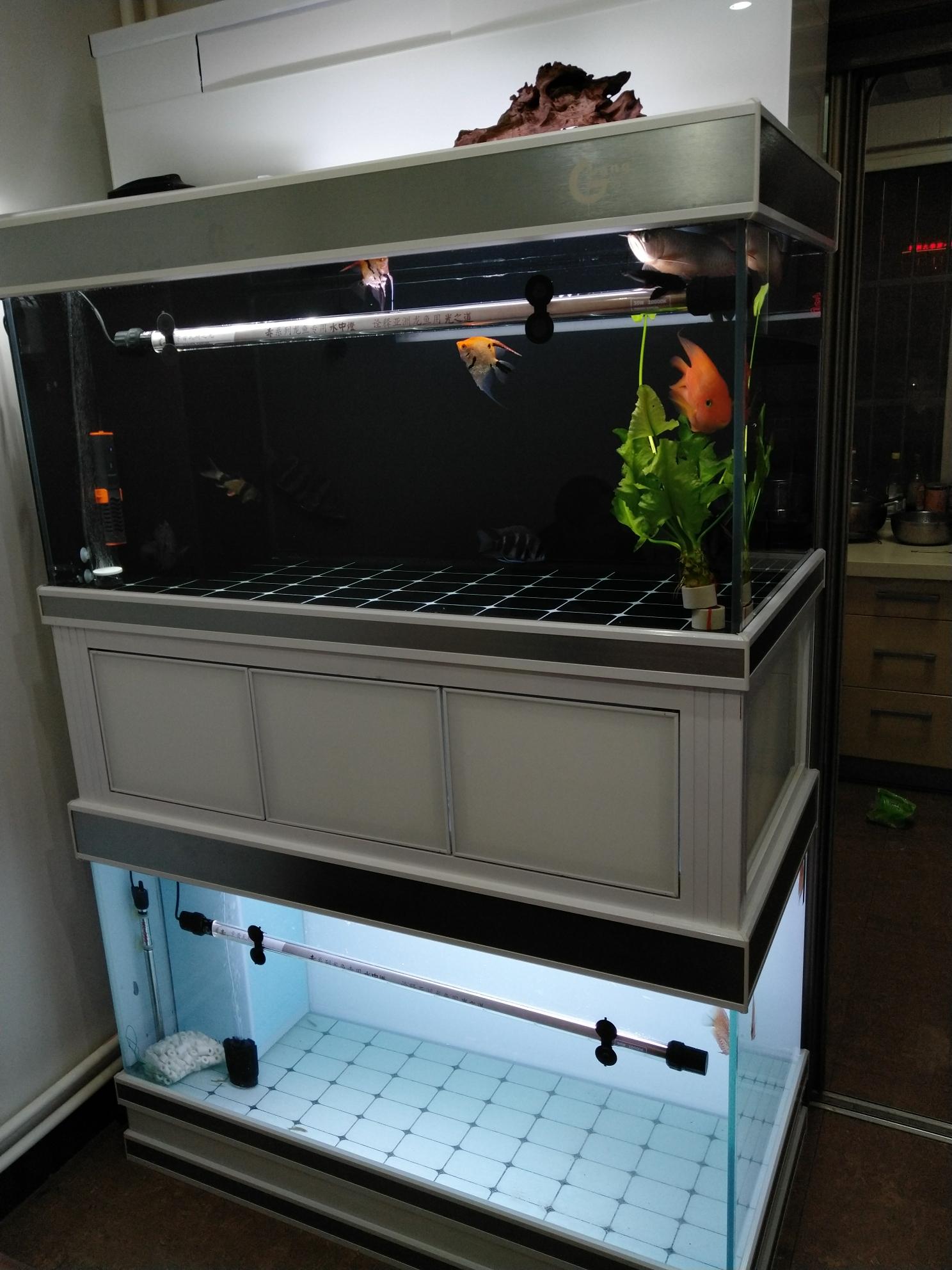 新缸开完了收几条不错的锦鲤 北京观赏鱼 北京龙鱼第2张