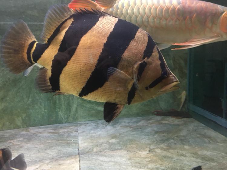 猪大和猪二 北京观赏鱼 北京龙鱼第2张