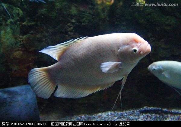 北京红财神鹦鹉鱼蝴蝶鲤这是咋了怎么处理啊 北京龙鱼论坛