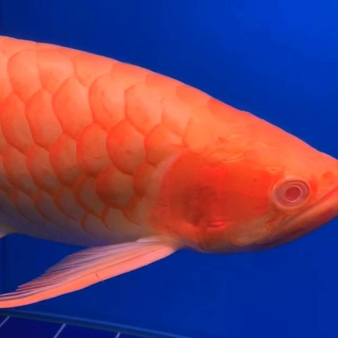 北京白子红龙鱼