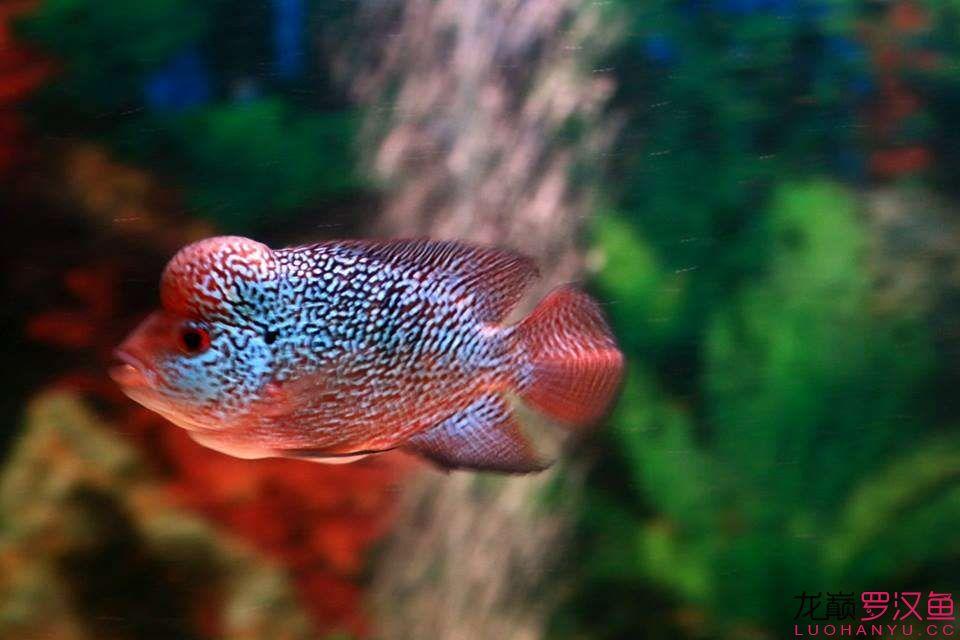 北京女王大帆鱼为什么贵说说你养鱼的趣事 都来参加 北京龙鱼论坛 北京龙鱼第1张