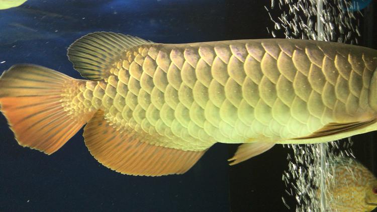 3月 北京观赏鱼 北京龙鱼第2张