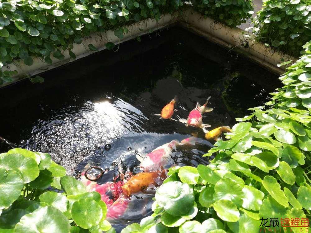 北京哪个水族店有白子关刀鱼天气转暖刚剪几天的草又开始猛长了 北京观赏鱼 北京龙鱼第2张
