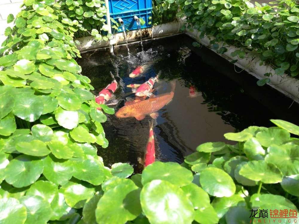 北京哪个水族店有白子关刀鱼天气转暖刚剪几天的草又开始猛长了 北京观赏鱼 北京龙鱼第4张