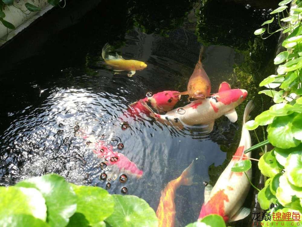北京哪个水族店有白子关刀鱼天气转暖刚剪几天的草又开始猛长了 北京观赏鱼 北京龙鱼第10张