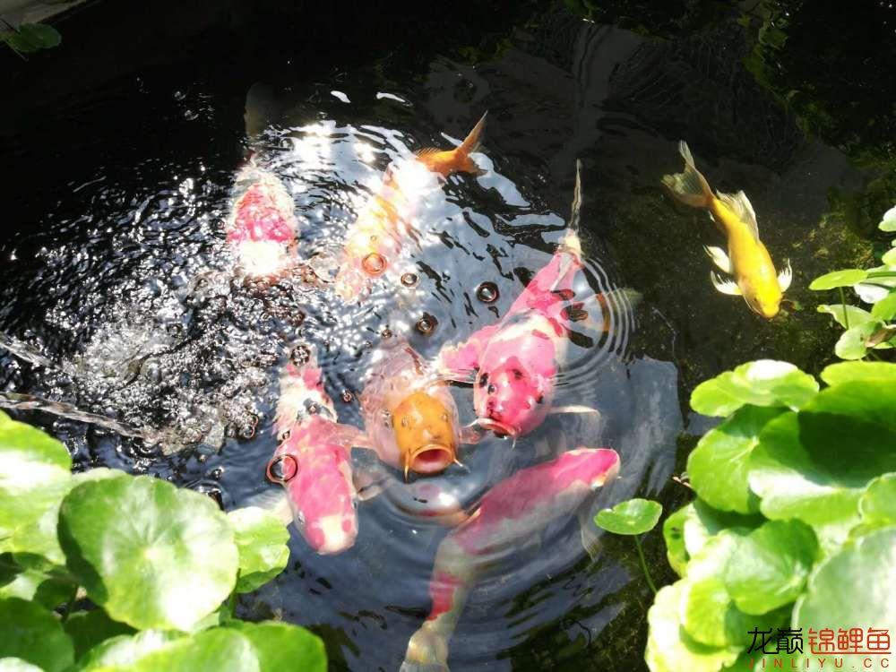 北京哪个水族店有白子关刀鱼天气转暖刚剪几天的草又开始猛长了 北京观赏鱼 北京龙鱼第11张