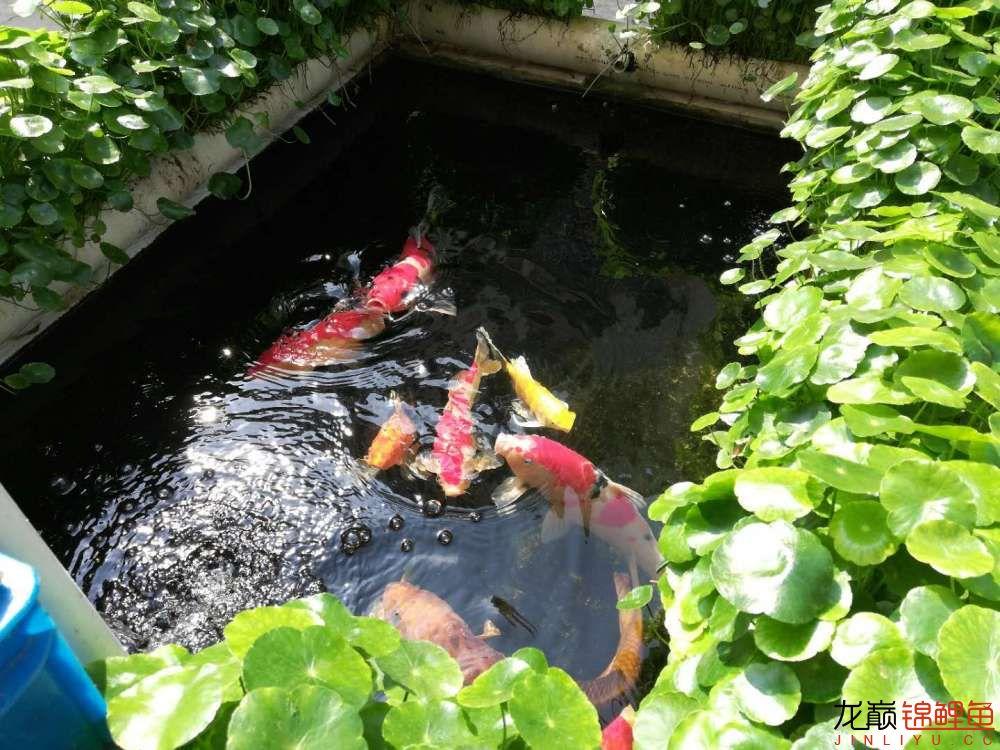 北京哪个水族店有白子关刀鱼天气转暖刚剪几天的草又开始猛长了 北京观赏鱼 北京龙鱼第12张