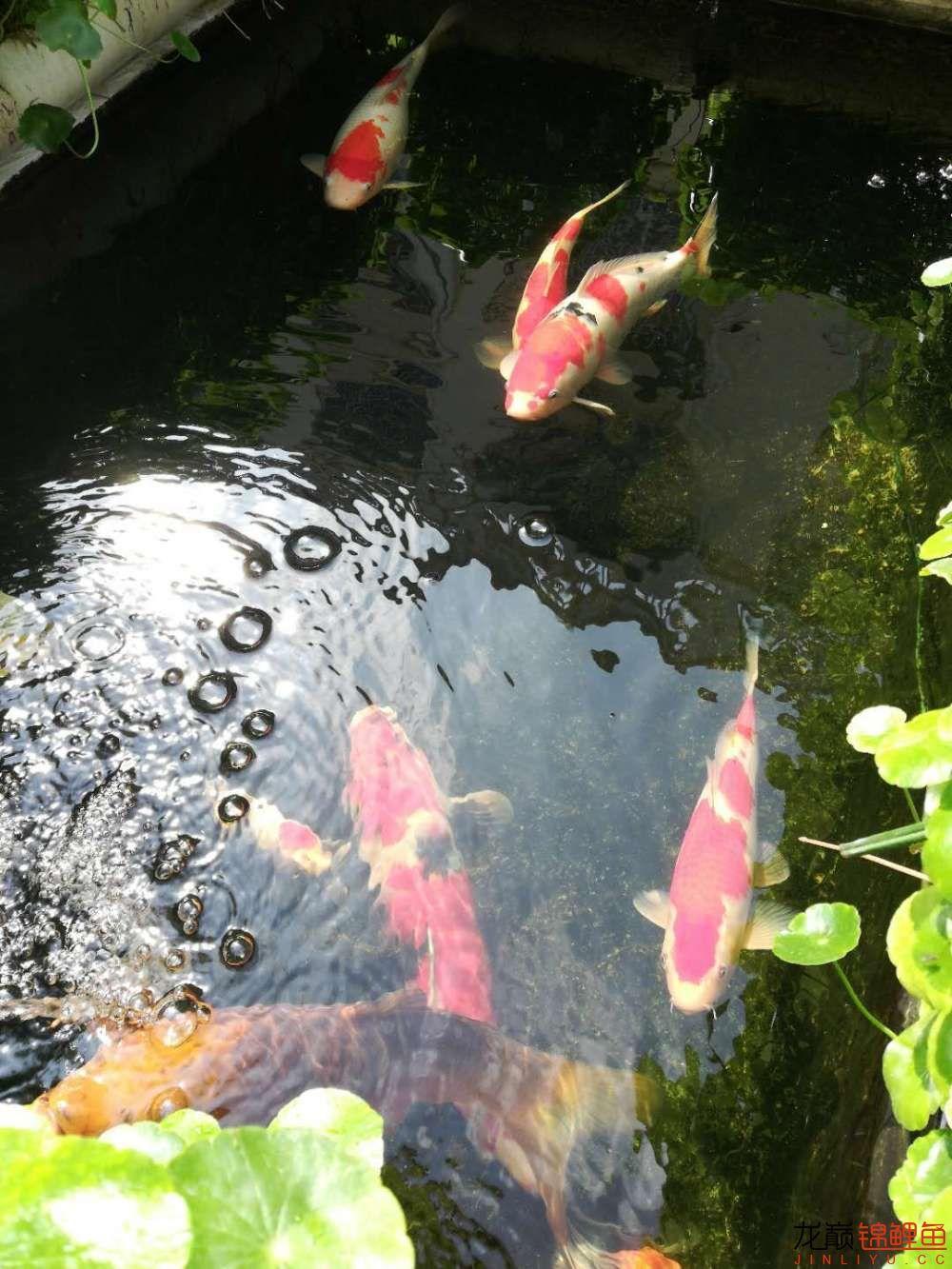 北京哪个水族店有白子关刀鱼天气转暖刚剪几天的草又开始猛长了 北京观赏鱼 北京龙鱼第13张