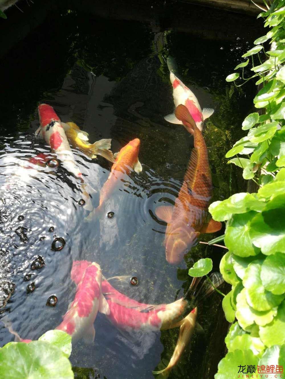 北京哪个水族店有白子关刀鱼天气转暖刚剪几天的草又开始猛长了 北京观赏鱼 北京龙鱼第14张