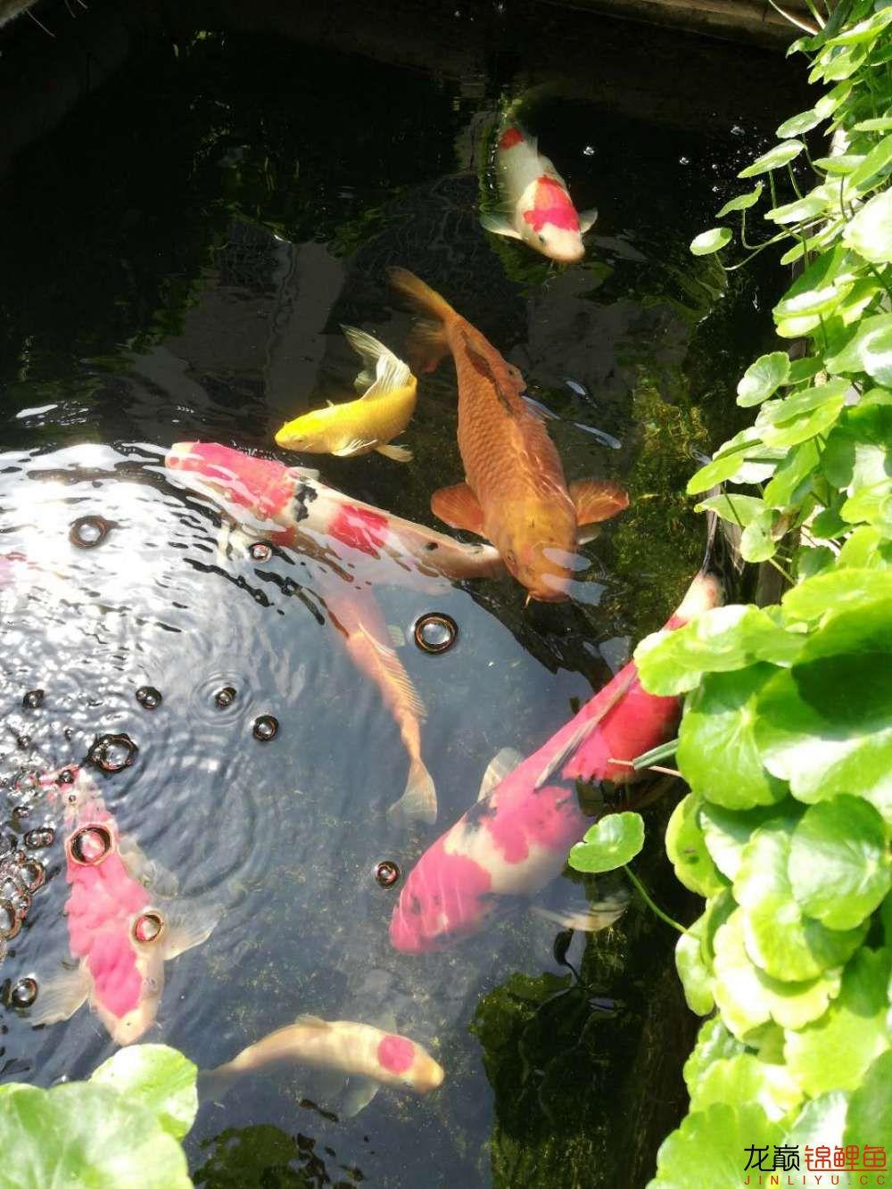 北京哪个水族店有白子关刀鱼天气转暖刚剪几天的草又开始猛长了 北京观赏鱼 北京龙鱼第15张