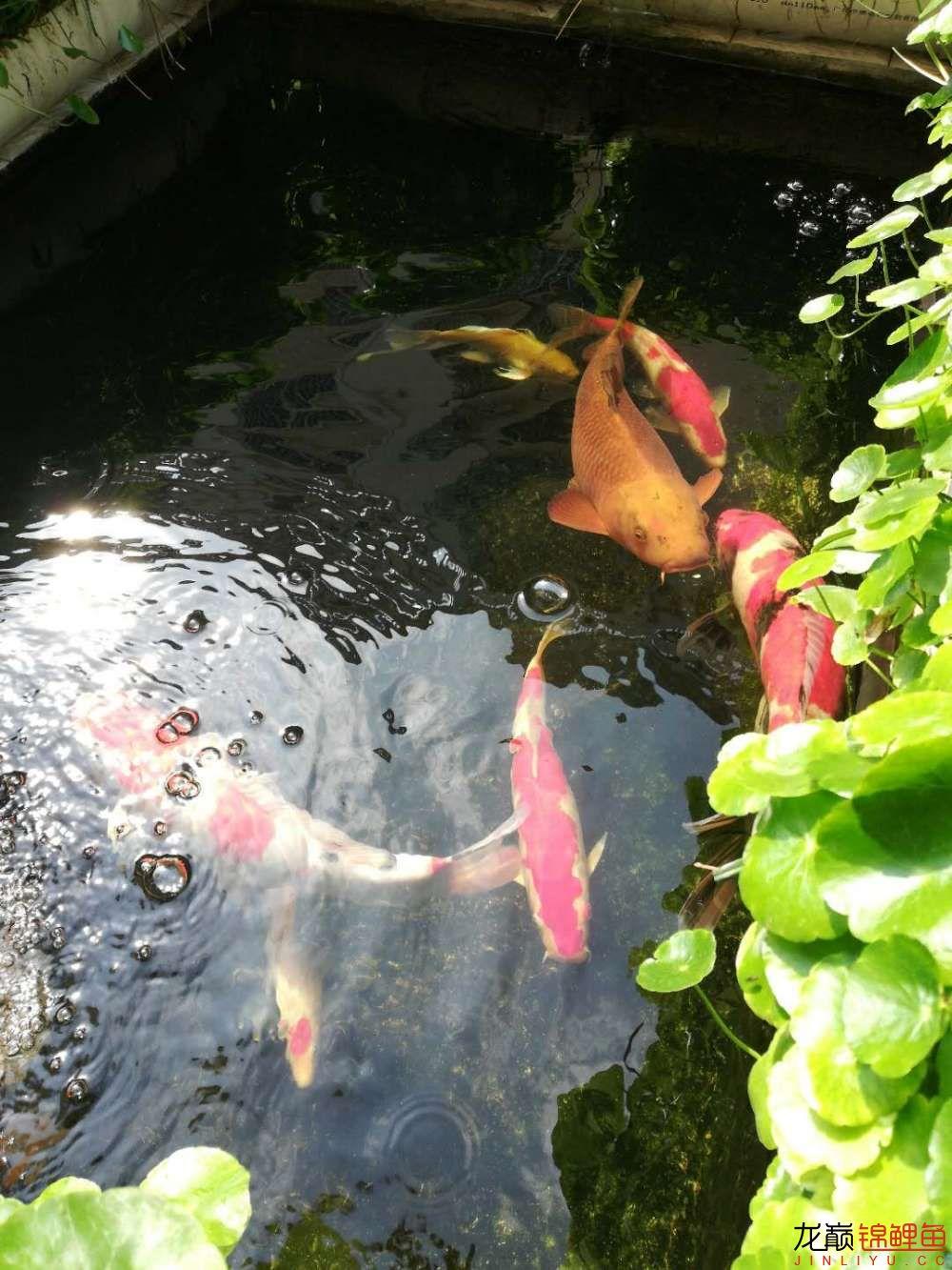 北京哪个水族店有白子关刀鱼天气转暖刚剪几天的草又开始猛长了 北京观赏鱼 北京龙鱼第16张