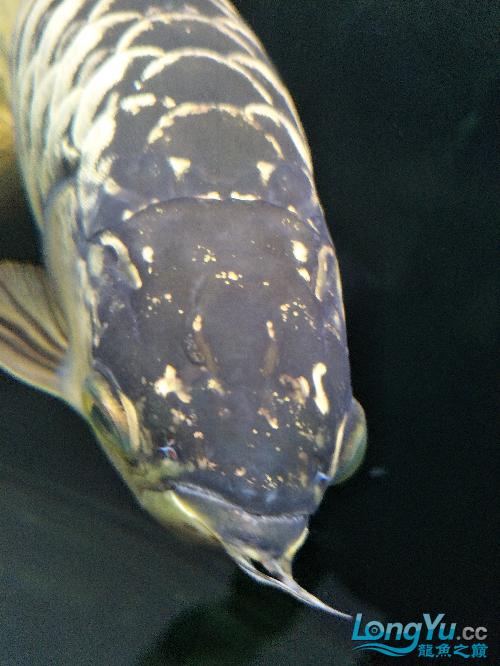 北京斑马鱼养殖10不吃东西了 北京龙鱼论坛 北京龙鱼第4张