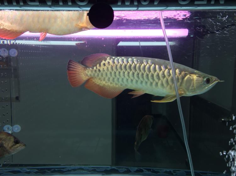 北京黄化白子银龙鱼变了吗? 北京观赏鱼