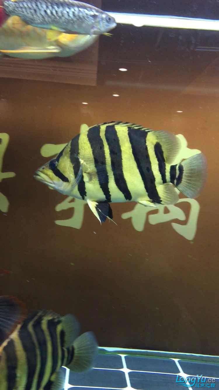 北京哪个水族店卖斑马鸭嘴极品大四纹高身金黄 北京龙鱼论坛 北京龙鱼第4张