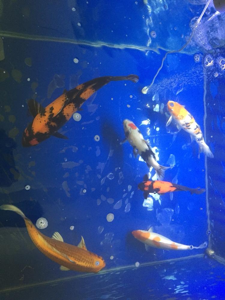 北京哪个水族店有蝙蝠鲳迎春 北京观赏鱼 北京龙鱼第1张