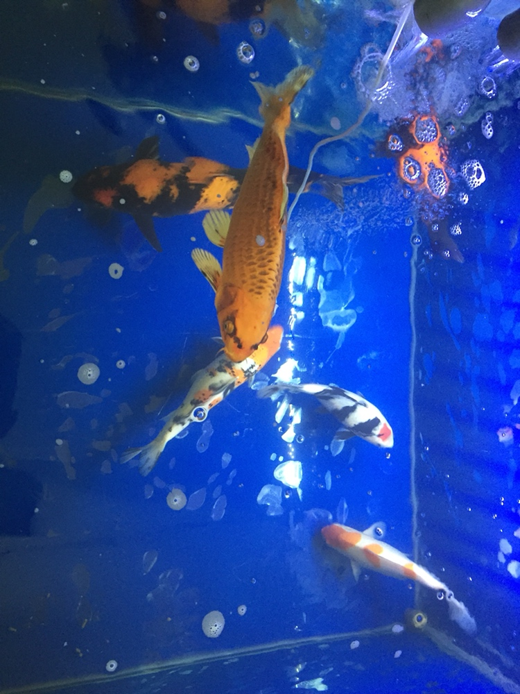北京哪个水族店有蝙蝠鲳迎春 北京观赏鱼 北京龙鱼第2张