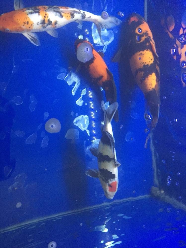 北京哪个水族店有蝙蝠鲳迎春 北京观赏鱼 北京龙鱼第3张