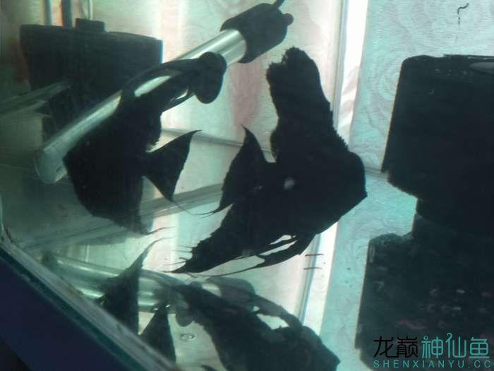 大家看看我家德系虎头拉丝墨燕自家养的 北京龙鱼论坛 北京龙鱼第2张