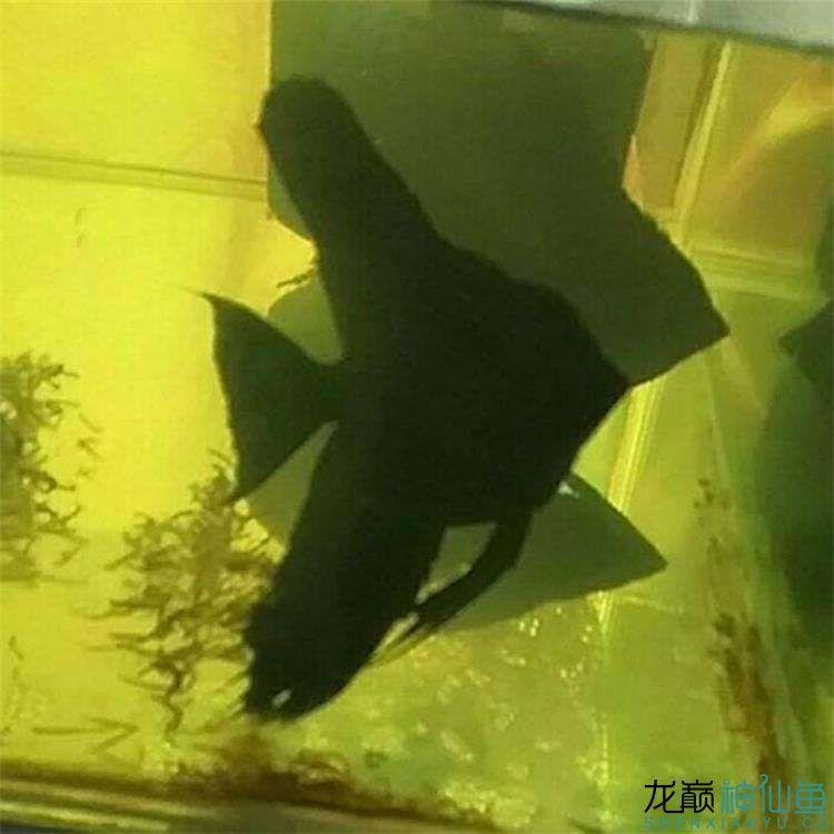 大家看看我家德系虎头拉丝墨燕自家养的 北京龙鱼论坛 北京龙鱼第3张
