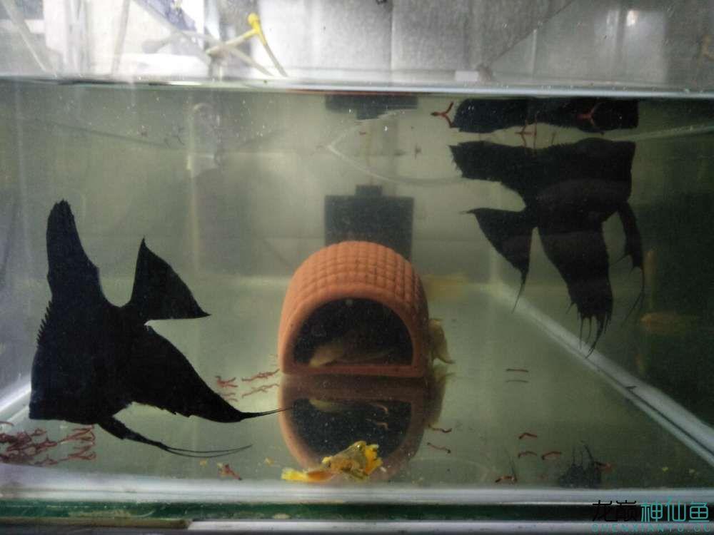 大家看看我家德系虎头拉丝墨燕自家养的 北京龙鱼论坛 北京龙鱼第4张