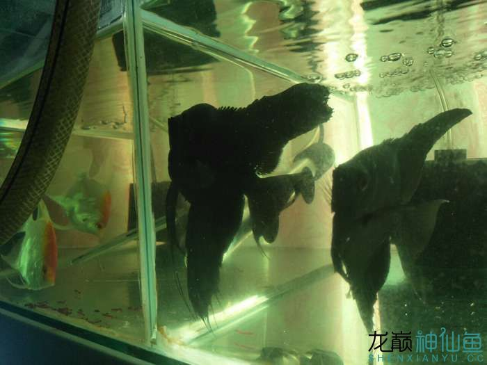 大家看看我家德系虎头拉丝墨燕自家养的 北京龙鱼论坛 北京龙鱼第5张