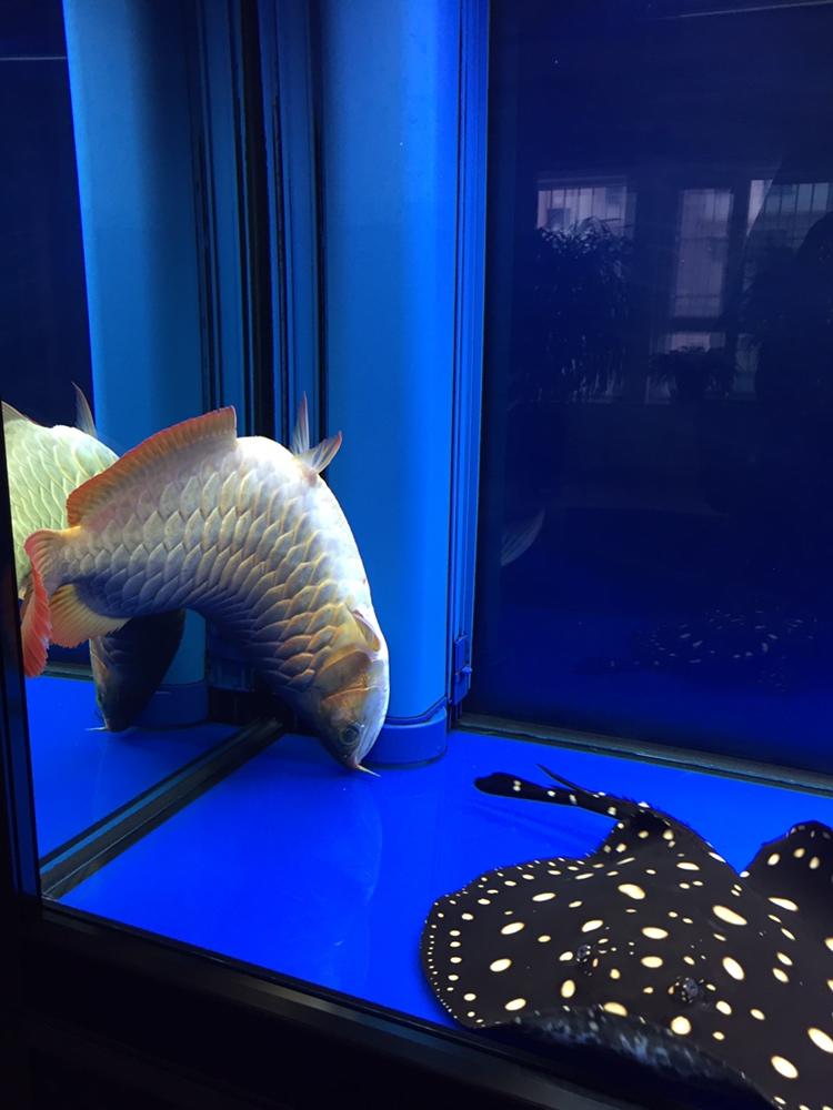 北京白子金龙鱼养了二年零八天伤心