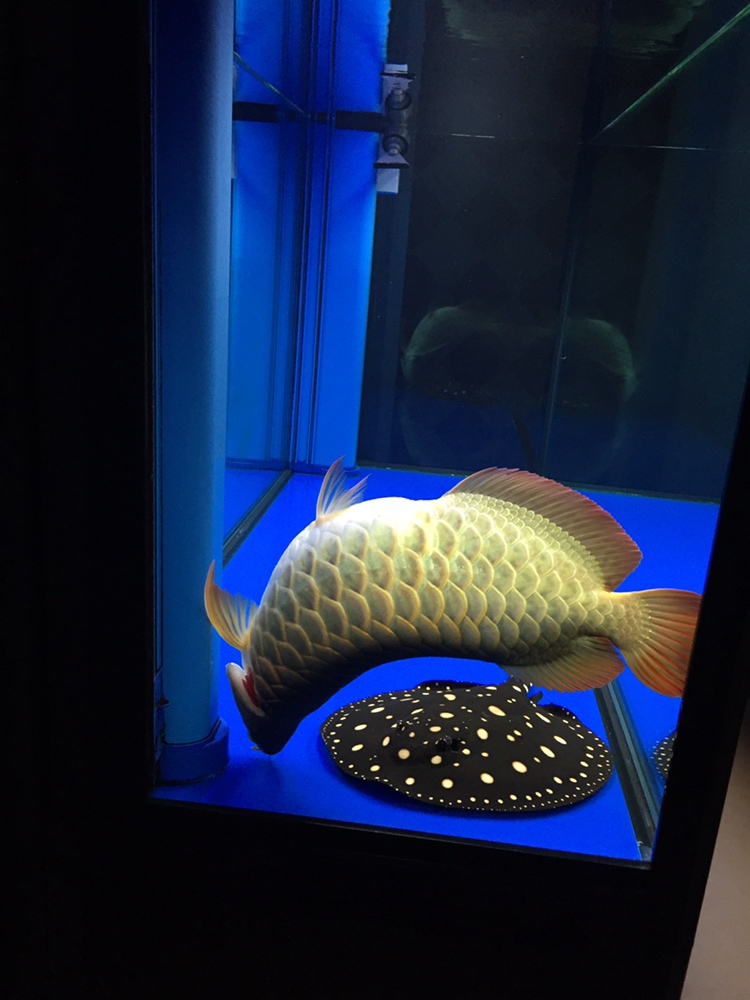 北京白子金龙鱼养了二年零八天伤心 北京观赏鱼 北京龙鱼第2张
