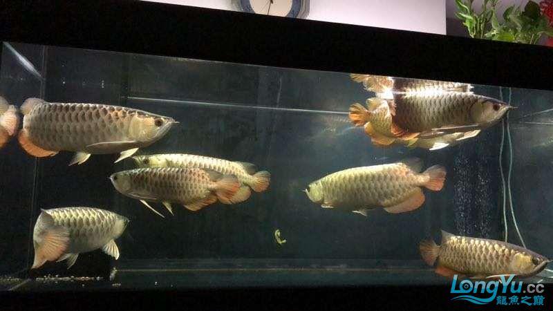 北京皇冠黑白魟鱼的好坏深圳地区出售50+以上8条过背金龙 北京观赏鱼 北京龙鱼第3张