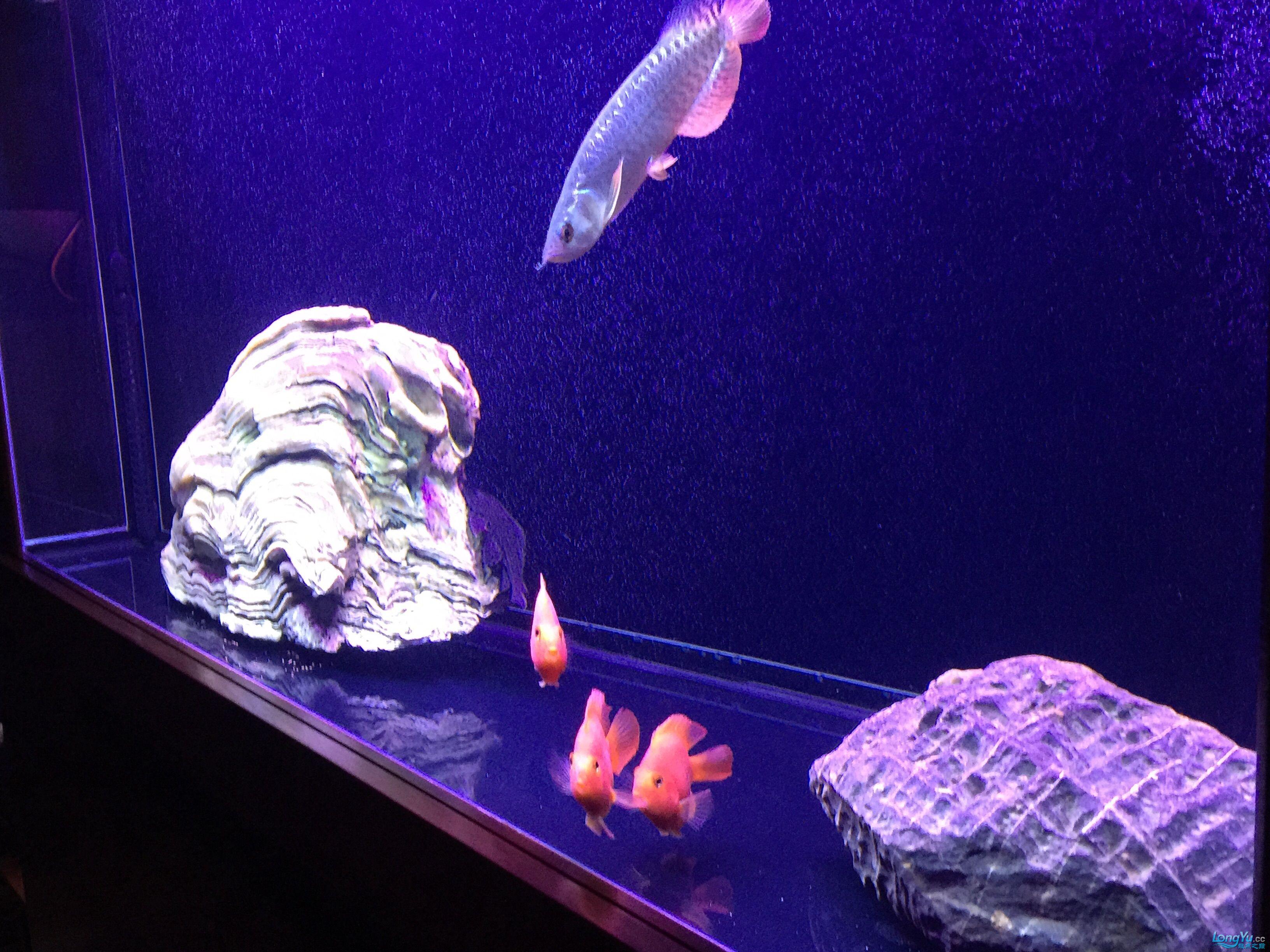 小龙入缸第二天状态很好很喜欢 北京观赏鱼 北京龙鱼第4张