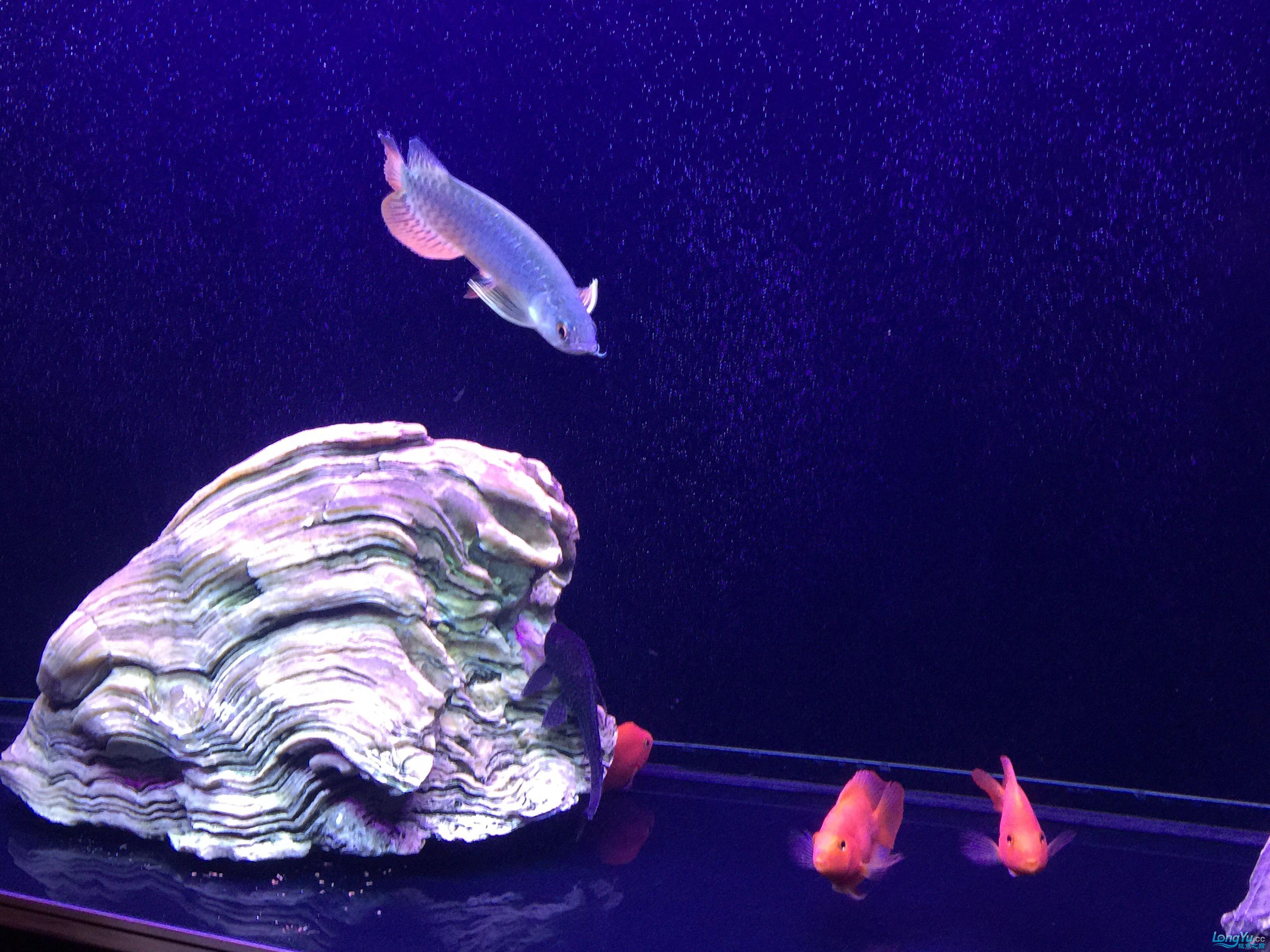 小龙入缸第二天状态很好很喜欢 北京观赏鱼 北京龙鱼第6张