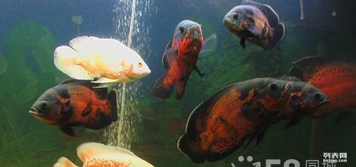 龙鱼甩头虎鱼蹭缸一个月了今天还趴缸