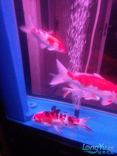 北京黑云(大吉大利)鱼哪好长时间没发了晒晒 北京观赏鱼 北京龙鱼第3张