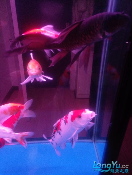北京黑云(大吉大利)鱼哪好长时间没发了晒晒 北京观赏鱼 北京龙鱼第4张