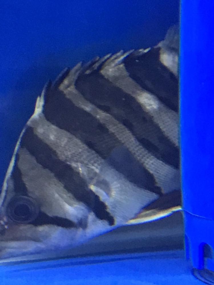 北京黑桃a鱼和粗线哪个好请问各位大神鱼这是病吗? 北京观赏鱼 北京龙鱼第1张
