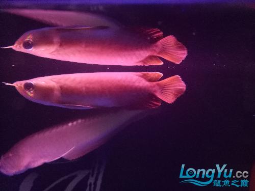 求大神帮我看下这个是红龙哪个品种 北京龙鱼论坛 北京龙鱼第2张