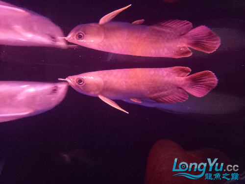 求大神帮我看下这个是红龙哪个品种 北京龙鱼论坛 北京龙鱼第3张