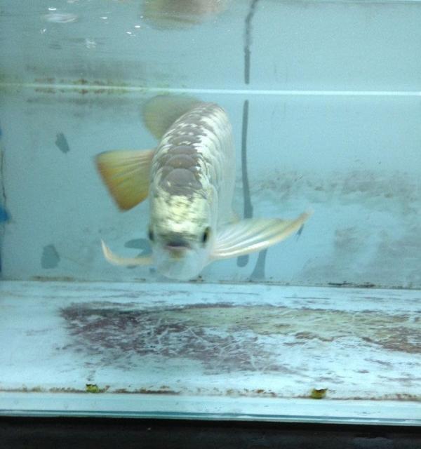 求大神帮我看下这个是红龙哪个品种 北京龙鱼论坛 北京龙鱼第4张