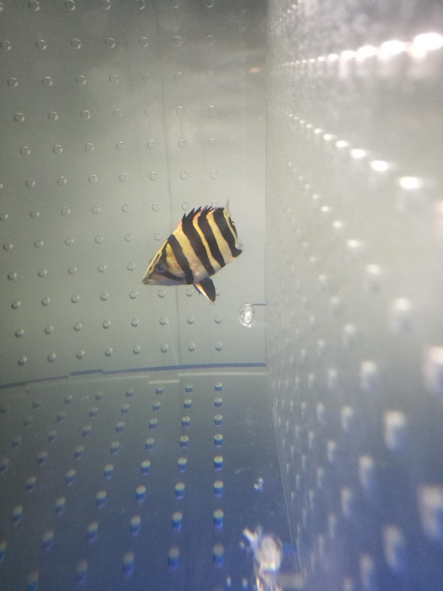 北京哪种关刀鱼最漂亮小虎蒙眼了怎么治呢?请高手指点 北京观赏鱼 北京龙鱼第5张