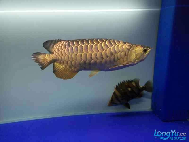 北京宠物水族用品展三年龙鱼 北京观赏鱼 北京龙鱼第1张