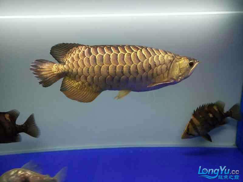 北京宠物水族用品展三年龙鱼 北京观赏鱼 北京龙鱼第2张