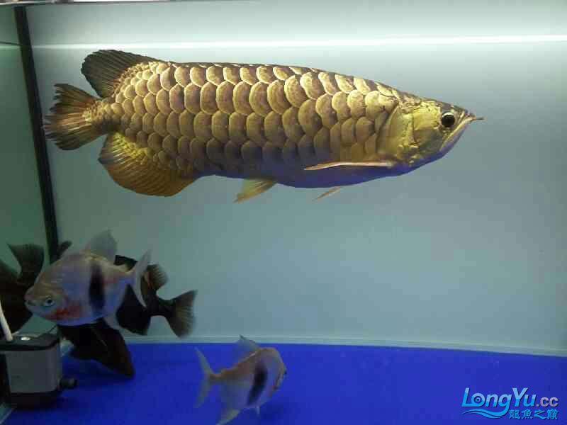 北京宠物水族用品展三年龙鱼 北京观赏鱼 北京龙鱼第3张