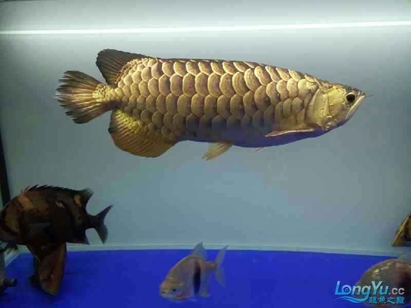 北京宠物水族用品展三年龙鱼 北京观赏鱼 北京龙鱼第4张