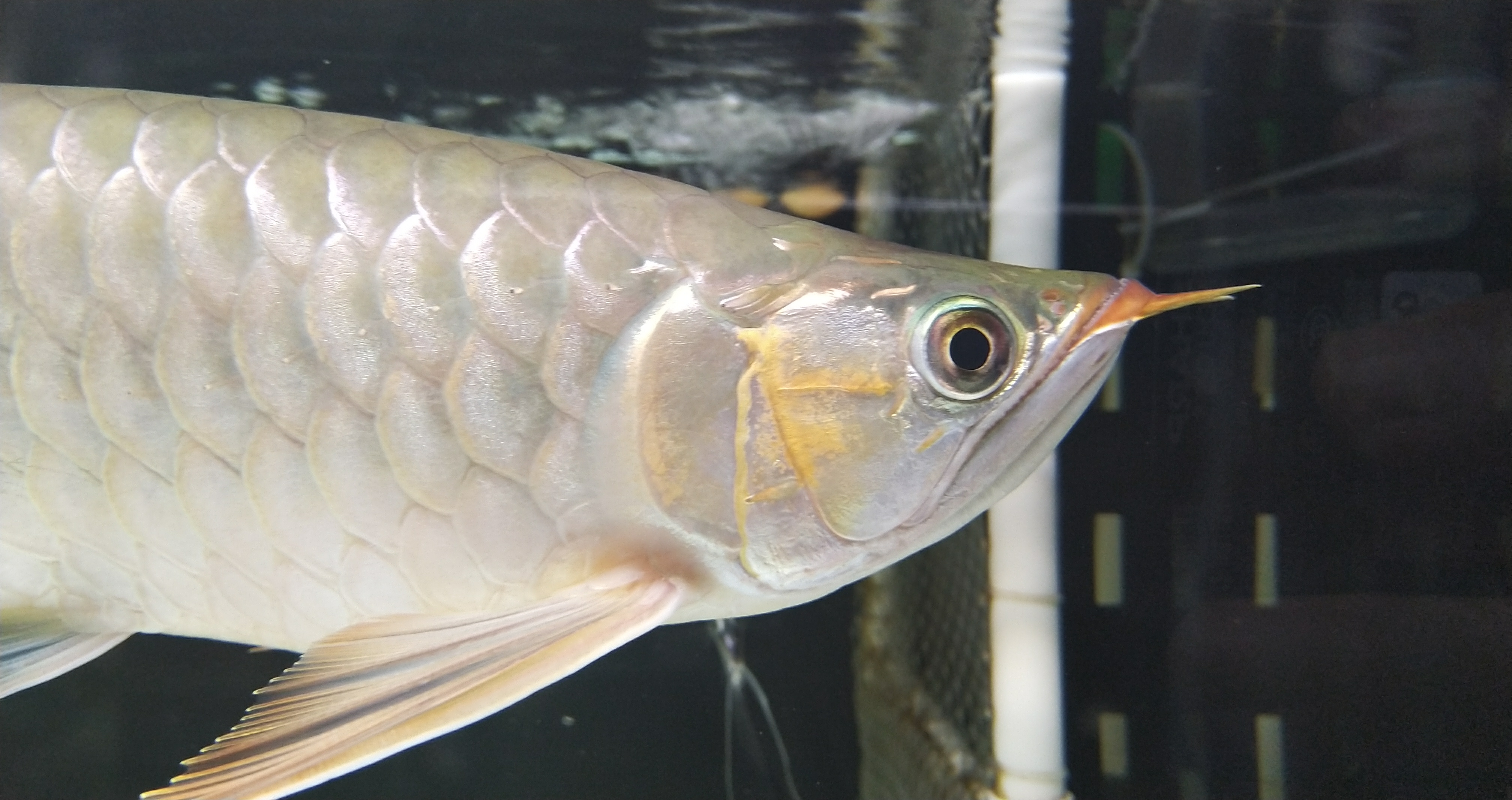 北京哪个水族店有白子黑帝王魟慢慢 北京观赏鱼 北京龙鱼第2张